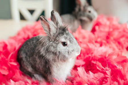Little gray rabbit rabbit sitting in pink feathers on the opposite window. Easter bunny in pink feathers reflected in the mirror. Stock Photo