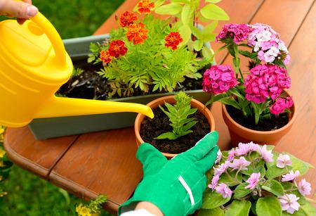 緑の手袋で手が鍋に花を植える