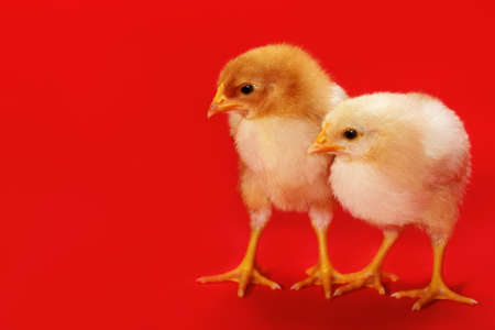 Two cute young chicken birds on a red background. Stock fotó
