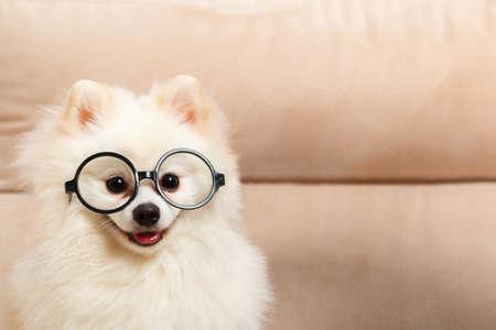 Cute white dog Pomeranian spitz in glasses.
