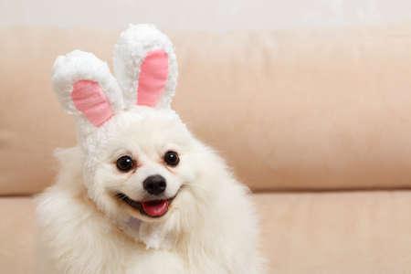 Funny white dog Pomeranian spitz in Easter bunny ears.