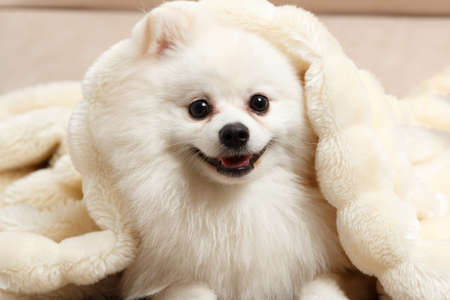 Close-up of a cute white Pomeranian spitz under a fluffy blanket. 免版税图像