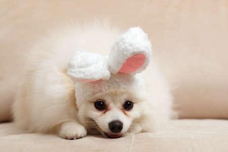 White Pomeranian in the ears of an Easter rabbit. 免版税图像