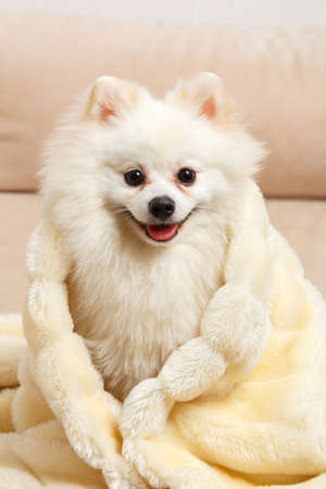 A cute white Pomeranian spitz wrapped in a fluffy blanket. The dog is sitting on the couch. 免版税图像