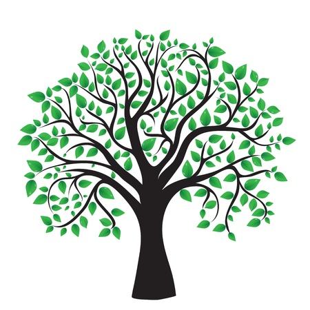 arbre     ? � feuillage persistant: Arbre isol� sur un fond blanc, vecteur Illustration