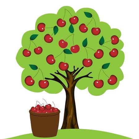 albero da frutto: Ciliegio su sfondo bianco
