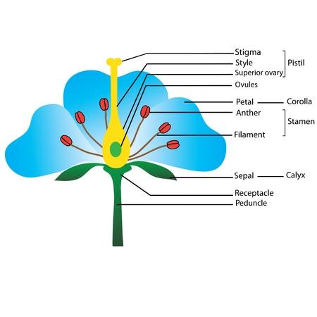 üreme: Çiçeğin yapısı,