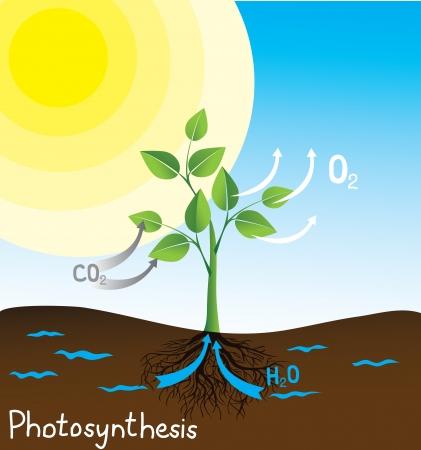 dioxido de carbono: vector de la fotos�ntesis de la imagen, esquema simple para estudiantes Vectores