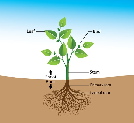 plant science: structure of the plant, a visual aid for training