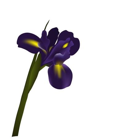 iris fiore: Iris fiore Vettoriali