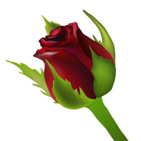 rosebud: red rose bud vector Illustration
