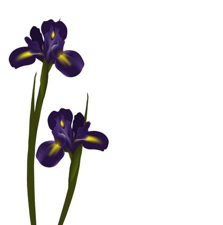 iris flower: Vector irises Illustration