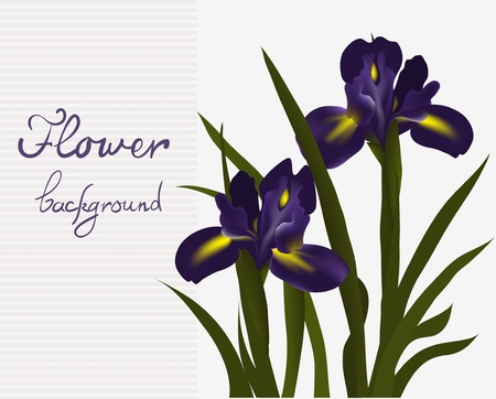 card with beautiful blue iris flower, vector illustration Stock Vector - 17278927