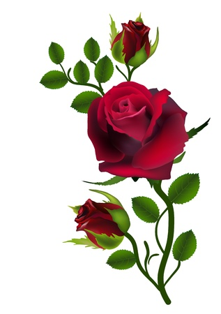 rosa: three dark red roses isolated on white