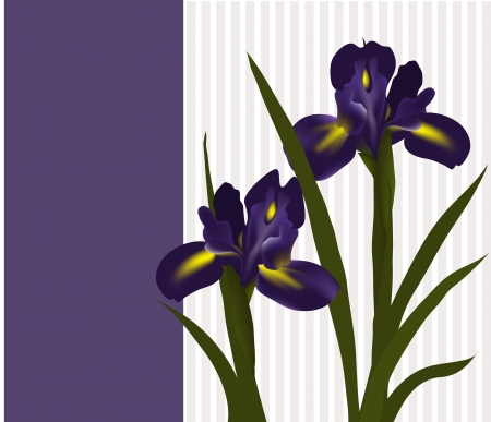 flowers irises  Can be used as greeting card for Valentine s Day, birthday