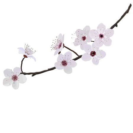 almond tree: Flower almonds Illustration