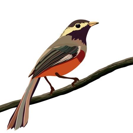 chaffinch: uccello primavera su un ramo, bianco isolato Vettoriali