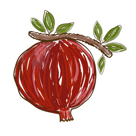 Pomegranate is freehand drawing. Vector
