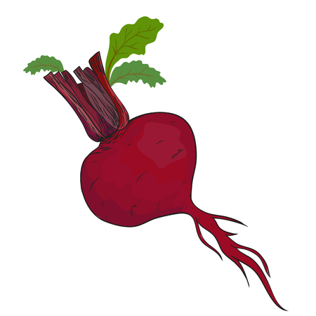 Beet isolated in vector Vector