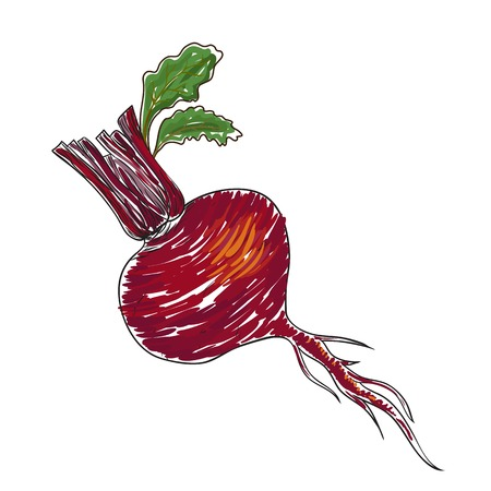 Watercolor beet isolated in vector Illustration