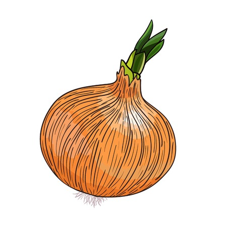 russian cuisine: Onion vector on white