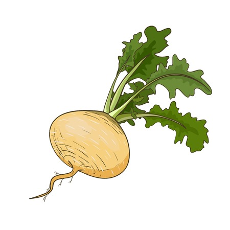 brassica: Vector turnip isolated on white