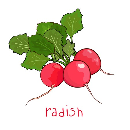 beam radish in vector isolated on white Illustration