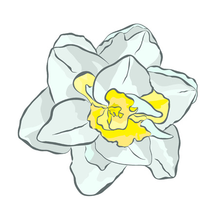 is magnificent: Magnificent white narcissus with yellow center. icon for print, website, cards, textiles