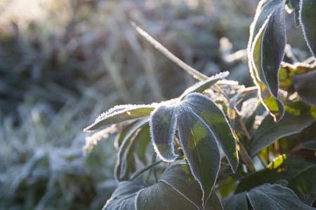 natural background, plants in the first frost in autumn