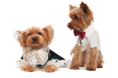Couple of loving little yorkshire terriers in costumes Stock Photo