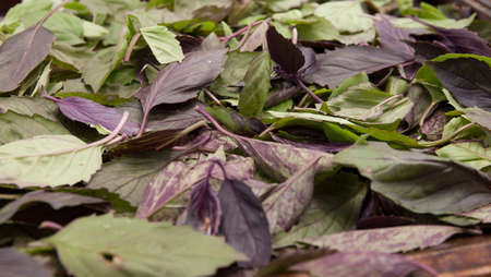 Green and purple basil leaves prepared for drying