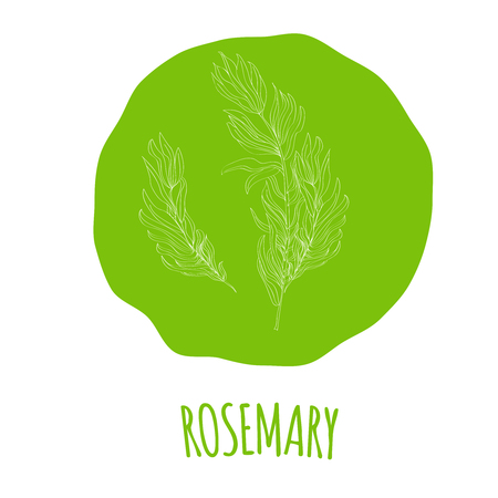 isolated ingredient: Hand drawn white rosemary branch with leaves isolated on a soft green background. Hand drawn spicy herbs. Doodle cooking ingredient for design. Hand drawn seasoning. Vector illustration