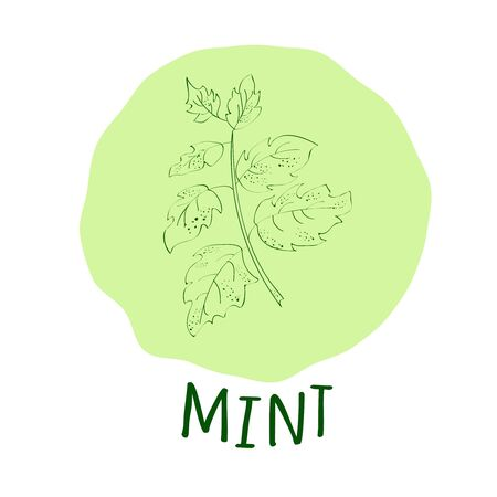 isolated ingredient: Hand drawn green mint branch with leaves isolated on a soft green background. Hand drawn spicy herbs. Doodle cooking ingredient for design. Hand drawn seasoning. Vector illustration