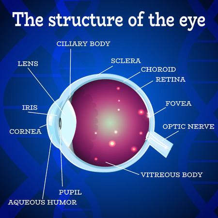 macula: Human eye anatomy structure.Medical manual for ophthalmology clinic,vector illustration.Iris,pupil,lens,nerve,macula,retina,cornea on blue dna chain wallpaper for optician clinic.Medical infographics