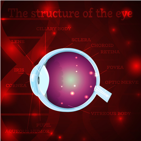 macula: Human eye anatomy structure.Medical manual for ophthalmology clinic,vector illustration.Iris,pupil,lens,nerve,macula,retina,cornea on red dna chain wallpaper for optician clinic.Medical infographics Illustration