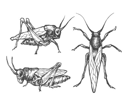 locust: Hand drawn set of grasshoppers and locust in different poses.