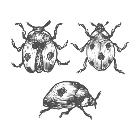 Hand drawn set of ladybug in different poses. Set of isolated vector insects illustrations. Black and white collection. Detailed realistic sketches. Ink, pen, linework.
