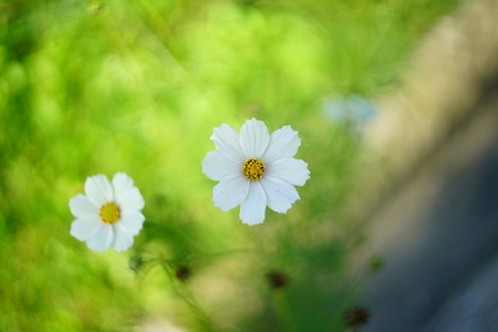 Small camomile flowers decorates the garden. beauty of a house, park. Round yellow shape of a buds, white long leaves, lawn long grass blades Imagens