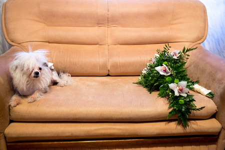An old bald dog lies on a leather sofa. Home pet with a worn hair and a sickly look. On the other side of seat is a large bouquet of white lilies, green leaves, florist floristry. New horizontal photo