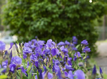 Lilac irises on a background of green leaves Zdjęcie Seryjne