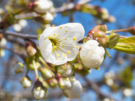 abloom: cherry blossoms in the spring