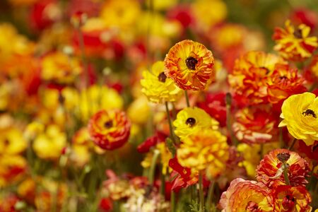field with Ranunculus asiaticus red yellow, Persian buttercup