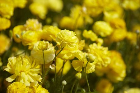 Close up view of Ranunculus flowers in a field aka buttercup flower, blooms in vibrant warm yellow color . Spring time Stock fotó