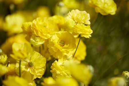 Spring time. Close up view of Ranunculus flowers in a field aka buttercup flower, blooms in vibrant warm yellow color
