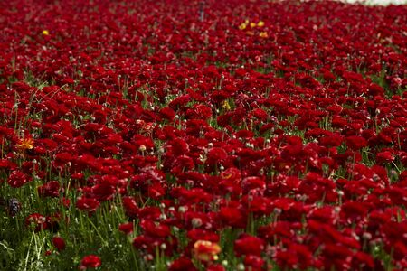 a beautiful Ranunculus flowers in a field aka buttercup flower, blooms in vibrant warm red color. Spring time