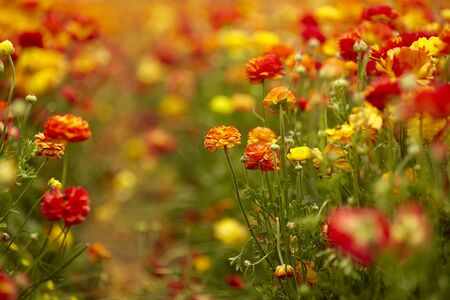 Spring mood. Spring holiday greeting postcard. Magnificent multi-colored buttercups. The concept of artistic photography