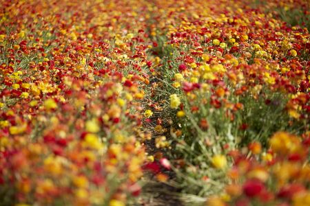 The magnificent field of the blossoming garden buttercups. Multi-colored flowers on high stalks are shaken on easy spring wind. The concept of artistic photography