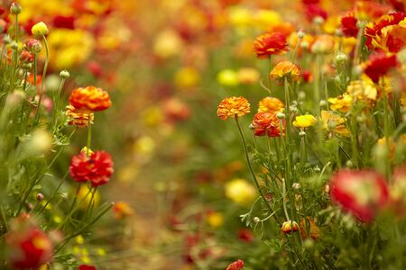 Blooming wildflowers are buttercups, red, on a kibbutz in southern Israel. Collect flowers Stock fotó