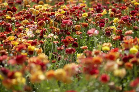 Close up view of Ranunculus flowers buttercup in a field aka blooms in vibrant warm colors of red orange, yellow. Spring time Stock fotó