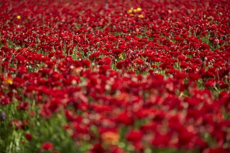 beautiful Ranunculus flowers in a field aka buttercup flower, blooms in vibrant warm red color. Spring time